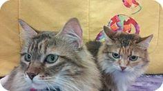 HILLSBORO, OR - Domestic Longhair. Meet Magnolia and Julep - Senior Sister Pair, a cat for adoption. http://www.adoptapet.com/pet/13198071-hillsboro-oregon-cat