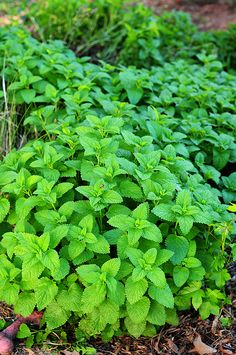 Lemon Balm...maybe next to the driveway..or in the yard over the oil tank where the grass won't grow.
