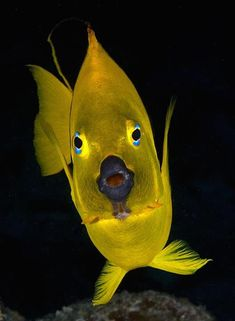 Surprised - Yellow fishy with blue eyes. In Bonaire. https://www.facebook.com/groups/underwatermacrophotographers/