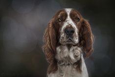 Welsh springer spaniel puppies femme sweat-mignon chien