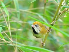 Smiling cutie by Mirror_Lake, via Flickr  Golden Parrotbill ... A rare species only found in high altitude. One of the most difficult species for bird photographers - long hour drive into the mountains, difficult to find, tiny and keep jumping in low bushes. But the smile on the parrotbill worths the efforts. SYLVIIDAE