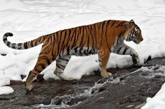 Tiger Drawing, Siberian Tiger, Cats, Drawings, Tigers, Animals, Planet Earth, Inspiration, Beautiful