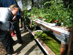 5 Great Fish options for your Backyard Aquaponics System. Setting up a good little backyard aquaponics system can ensure you're dripping with herbs and greens on a regular basis, with the addition of an occasional home-grown fish night! Backyard Aquaponics, Aquaponics Fish, Aquaponics System, Hydroponics, Permaculture Courses, Cool Things To Make, Things To Come, Plant Growth, Growing Plants