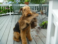 Aww this Airedale Terrier is helping his owners with their gardening,so darn cute
