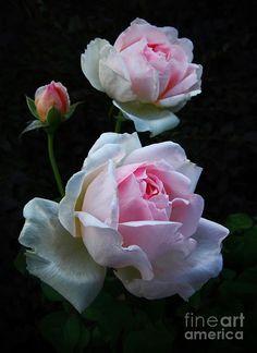 Rose Sharif Asma, original photo by Jerry Bain