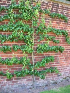 Espalier Wall Tree