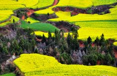 Rapeseed plants ready for harvest in Luoping, Yunnan province, China, on March 15, 2012