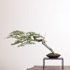 Risultati immagini per bonsai mirai Bonsai Plants, Bonsai Garden, Succulents Garden, Cactus Plants, Flowering Succulents, Planting Flowers, Mame Bonsai, Juniper Bonsai, Bonsai Styles