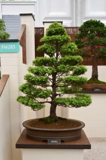 Western hemlock (Tsuga heterophylla) bonsai at Hampton Court Palace flower show - Non-Commercial License - No Attribution Required Free Pictures, Free Images, Prunus Mume, Free Plants, Plant Pictures, Flower Show, Free Stock Photos, Bonsai, The Hamptons