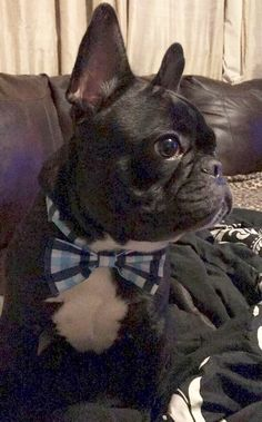 Lou, French Bulldog in a Bow Tie ❤️