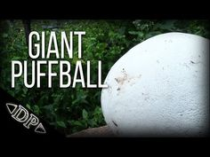 Giant Puffball - Wild Edibles Series - YouTube