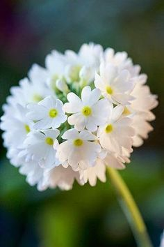 7115 best flowers plants images on pinterest in 2018 beautiful palloesikko primula denticulata wonderful flowers beautiful things white flowers mightylinksfo