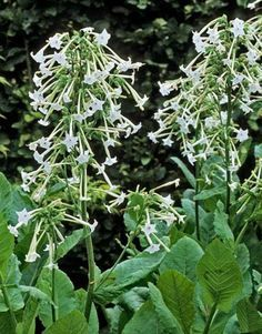 Fragrant Plants and Flowers - Choosing the Best Fragrant Flowers - Country Living Nicotiana Of the many species of flowering tobacco, try Nicotiana alata 'Jasmine' — with white trumpets that open at dusk — or N. sylvestris, which reaches four to five feet and smells of freesia.