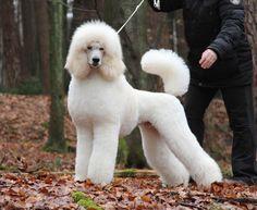 Cute Standard Poodle