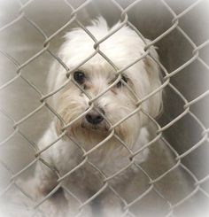 7-16-14: Beautiful Maltese male, available today for adoption or fostering! He's 2-3 years old. Obviously dumped here at this kill shelter. Kennel A11 and only $51 to adopt and make him part of your family! Please adopt a shelter pet and save a life. Fostering is FREE. Odessa TX animal control. https://www.facebook.com/speakingupforthosewhocant/photos/a.573572332667009.1073741829.248355401855372/809680392389534/?type=1&theater