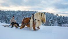 Sledding with a Tolkien horse! Pretty Horses, Horse Love, Beautiful Horses, Animals Beautiful, Farm Animals, Animals And Pets, Funny Animals, Cute Animals, Snow Scenes