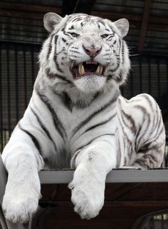 Khan, a 2-year-old male Bengali white tiger, growls inside a cage at the Royev Ruchey zoo in Krasnoyarsk