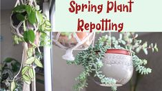 Spring Houseplant & Succulent Repotting Spring Plants, Houseplant, Balcony Garden, Container Gardening, Sassy, Succulents, Videos, Youtube, Succulent Plants