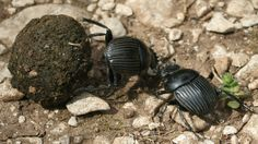 Planta da espécie Ceratocaryum argenteum tem sementes com cheiro de fezes e besouros a enterram por engano.