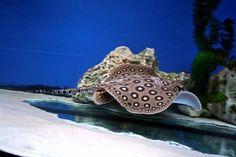 Have you ever successfully kept a stingray? Aquarium Fish: An Overview of Stingrays of the genus Potamotrygon (via @Advanced Aquarist)