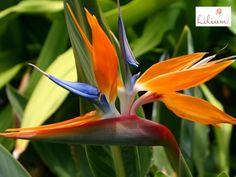LAS MEJORES FLORES A DOMICILIO. ¿Conoce la Heliconia? Esta es una planta tropical que tiene más de 100 especies distintas. Proviene de  Sudamérica, Centroamérica, las islas del Pacífico e Indonesia y son conocidas también como ave del paraíso o pinza de langosta, gracias a su peculiar forma. En Lilium elaboramos algunos de nuestros diseños con esta hermosa flor. Le invitamos a visitar nuestra página en internet www.lilium.mx, en dónde podrá elegir el arreglo que más le agrade. #floreslilium