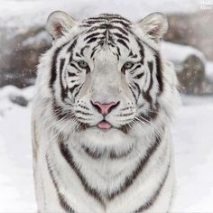 Tiger is the largest species of the cat family. Tigers are wild animals, but the current tiger populations are threatened due to continued hunted for their leather. It is 10 interesting tiger facts. White Tiger Pictures, Animal Pictures, Funny Animals With Captions, Cute Funny Animals, Beautiful Cats, Animals Beautiful, Beautiful Creatures, Beautiful Pictures, White Bengal Tiger