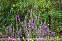 https://flic.kr/p/Kfafmx | Flores púrpuras | Desde Playa América