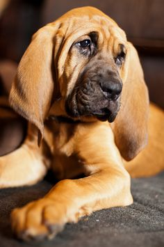 Beautiful face ........(this is the beautiful old bloodhound Buggie hates across the street)