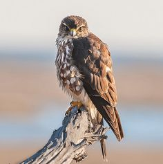 The Merlin (Falco columbarius) is a small species of falcon from the Northern Hemisphere. A bird of prey once known colloquially as a Pigeon Hawk in North America. This guy looks like he has a attitude : ) Merlin Bird, Scottish Animals, Extinct Animals, Bird Pictures, Birds Of Prey, Raptors, Wild Birds, Peregrine