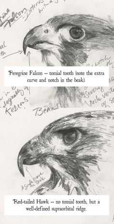 Difference Between Hawks and Falcons | sketches comparing a falcon and a hawk's beak.