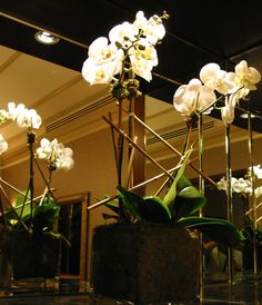 This is a selection of white, phalaenopsis orchid plants.  See our entire selection at www.starflor.com.  To purchase any of our floral selections, as gifts or décor, please call us at 800.520.8999 or visit our e-commerce portal at www.Starbrightnyc.com. This composition of flowers is generally available for same day delivery in New York City (NYC). OP015