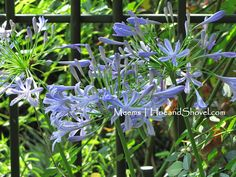 Agapanthus (Agapanthus orientalis, lily-of-the-Nile, African lily, African blue lily)