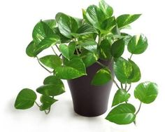 These houseplants are perfect for homes and offices with little or no natural sunlight.