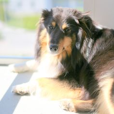 Tall Girl's Fashion // Nelly The Shetland Sheep Dog Tall Girl Fashion, Adorable Dogs, Fashion Blogs, Sheep, Animals, Image, Animales, Animaux, Animal
