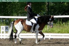 bay splash white - Gotland Pony stallion Theodor