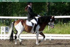 bay splash white - Gotland Pony stallion Theodor