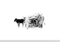 nguni Photomontage, Cow Illustration, Cow Drawing, Photoshop, Jolie Photo, Beautiful Textures, Livestock, Cattle, Landscape Paintings