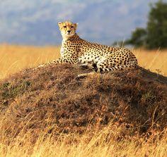 wild cat in africa