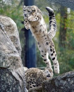 During play, a snow leopard makes a high leap to safety. Der Leopard, Snow Leopard, Serval, Beautiful Cats, Animals Beautiful, Gato Grande, Photo Animaliere, Ghost Cat, Black Panthers