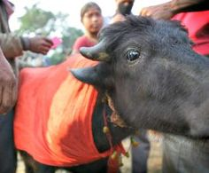 Victory! Animal Sacrifice Banned at Nepal's Gadhimai Festival, Half a Million Animals Saved : Humane Society International | India