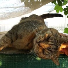 Meet Fleur. This little old lady has the best catio! - - - #fleurthecat #kitty #oldcats #prettycat #catio #cathouse #catsitting #petsitting #petstagram #catsofinstagram #catsofinsta #instacats #catoftheday #suzspetservices #wagga #waggawagga #riverina