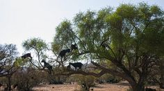 Goats in Trees -    Goats eating the Argan fruit...