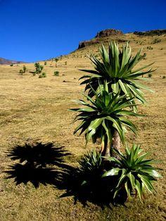 Lobelias Near Mt. Ras Dashen   Simien Mountains, Ethiopia