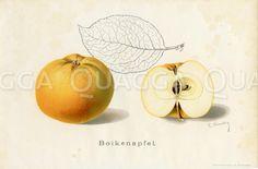 Apfel, Apfelsorte: Boikenapfel