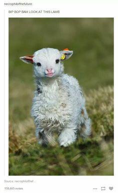 Bip bop bam look at this lamb