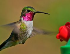 Different Types of Hummingbirds With Pictures That Nature Was Hiding Colorful Birds, Beautiful Birds, Animal Photography, Butterfly, Artwork, Nature, Pictures, Animals, Hummingbirds