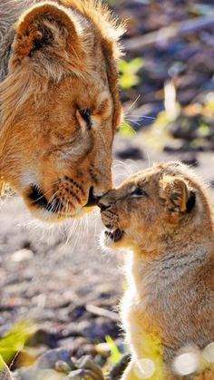 🦁If you Love Lions, You Must Check The Link In Our Bio 🔥 Exclusive Lion Related Products on Sale for a Limited Time Only! Tag a Lion Lover! 📷 Please DM . No copyright infringement intended. All credit to the creators. Big Cats, Cats And Kittens, Cute Cats, Funny Cats, Beautiful Cats, Animals Beautiful, Beautiful Images, Cute Baby Animals, Animals And Pets