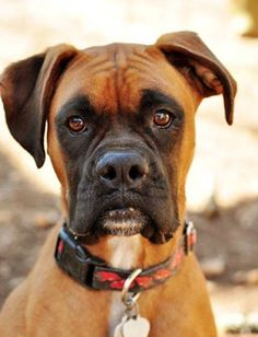 Gorgeous Boxer www.dailyboxer.com #Boxer Dogs Puppy Hounds Puppies