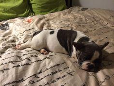Sleepy Louise. Blue pied french bulldog puppy <3