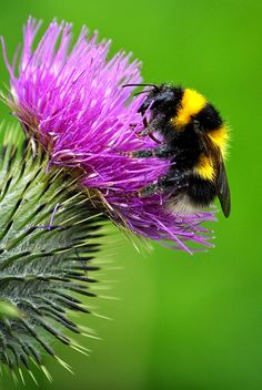 Bumblebee on a thistle flower - Bourdon sur une fleur de chardon I Love Bees, Birds And The Bees, Thistle Flower, Thistle Plant, Buzzy Bee, Bees And Wasps, Beautiful Bugs, Bee Art, Bugs And Insects